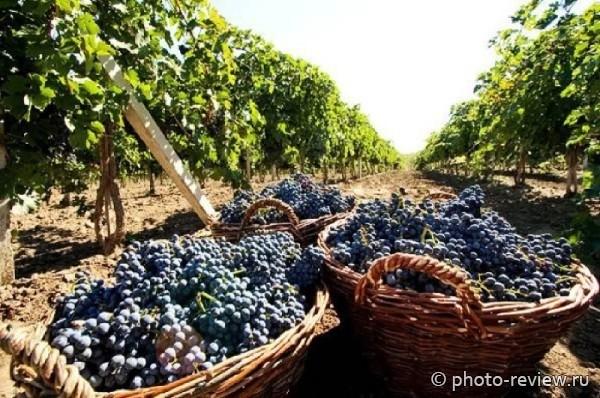 виноградники Мысхако