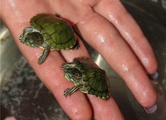 маленькая красноухая черепаха