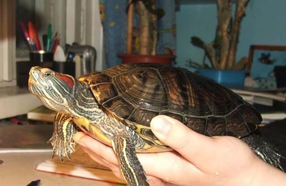 взрослая красноухая черепаха